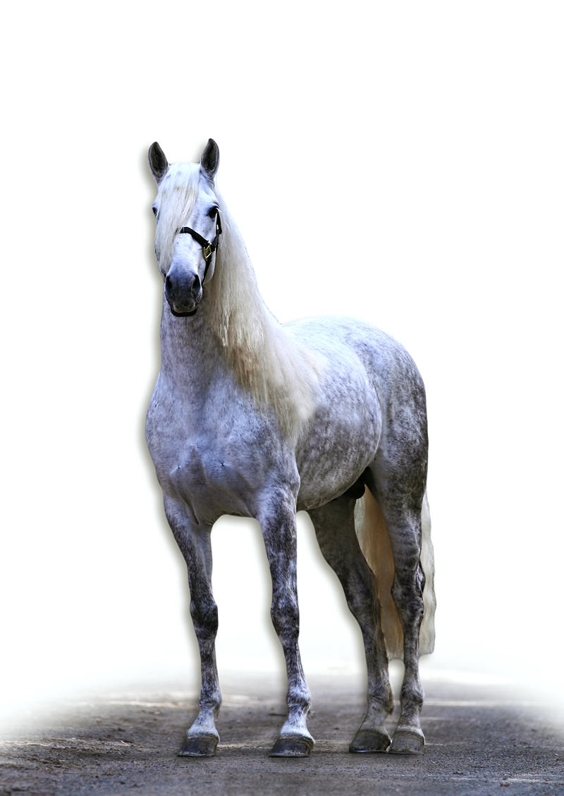 Selecting an Andalusian Stallion