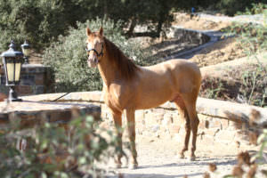 Activo PM-Pearl Bay Stallion